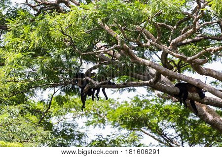 Trio Of Howler Monkeys Snoozing