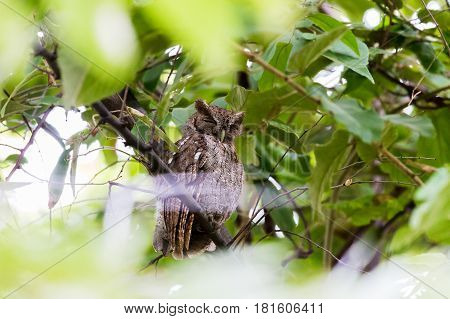 An owl snoozes high up in a tree one morning on a beach in the North Western province of Costa Rica Guanacaste.
