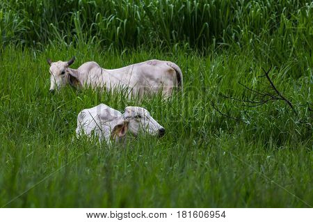 Cattle Grazing In The Long Grass