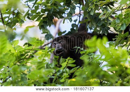A howler monkey reaches out for a branch full of lush green leaves in a forest in Guanacaste Costa Rica.