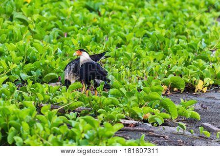 Crested Caracara Feeding