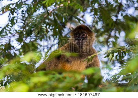 A Spider Monkey In The Tree Tops
