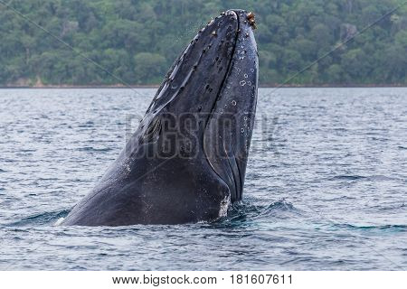 Close-up Of A Humpback Whale Breaching