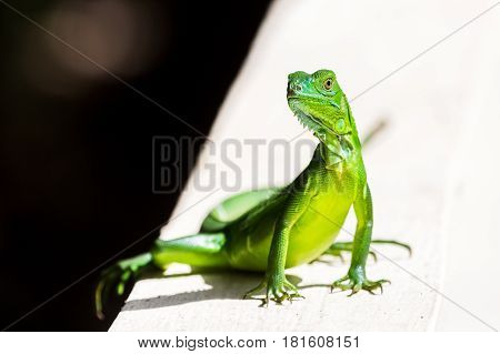 A juvenile Green Iguana basks on a concrete wall of our hotel in Costa Rica.