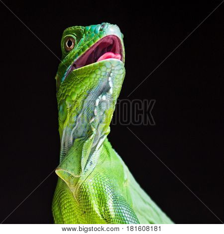 Close-up of a juvenile Green Iguana as it basks with its mouth open in Guanacaste Costa Rica.