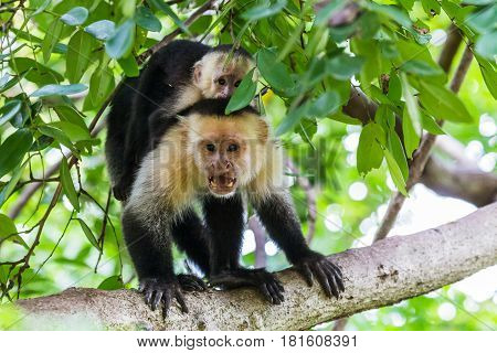 A White faced capuchin calls out & shows its teeth to protect the baby on its back in Costa Rica.
