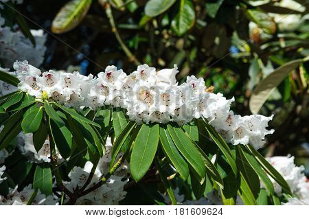 White Azalea flowers in the garden. Rhododendron hybr Roza stevenson