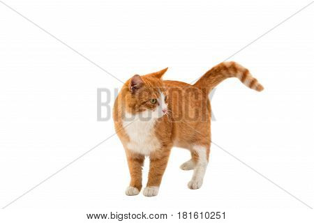 Red cat looking isolated on white background