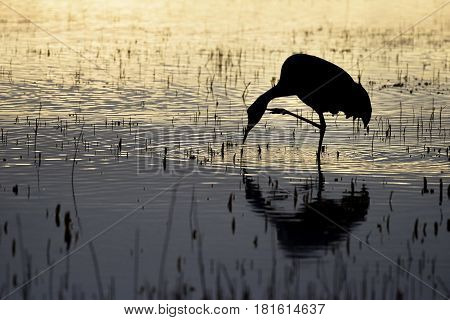 Silhouette of Crane at Sunrise on One Leg Scratching Neck