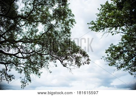 Tree Branches in the Sky upward and forward