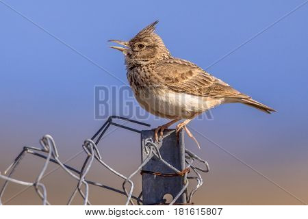 Crested Lark  On Fence