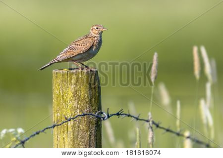 Eurasian Skylark On Pole In Agricultural Landscape