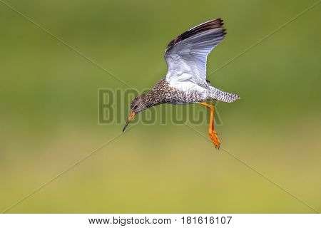 Flying Common Redshank Eurasian Wader