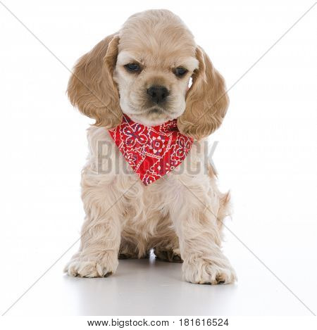 cocker spaniel puppy with red bandanna
