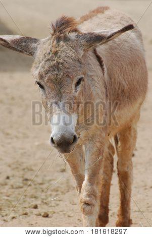 Really cute wild donkey in the Aruba.