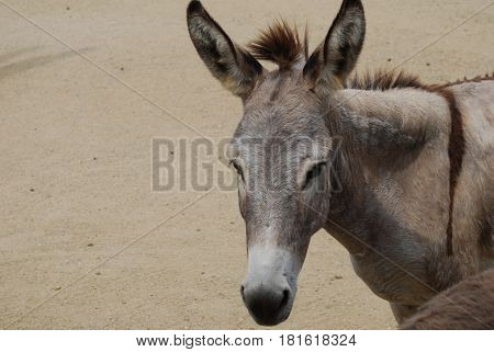Gorgeous face of a wild donkey in the dessert of Aruba.