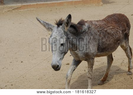 Wild donkey ambling along in sanctuary in Aruba.