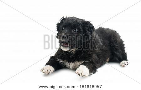 Black puppy dog isolated on white background