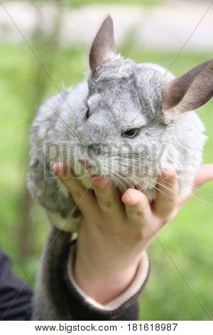 Cute gray chinchilla on the girl hand