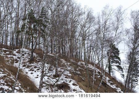 Birch on top of a mountain on a spring day near the city of ples.
