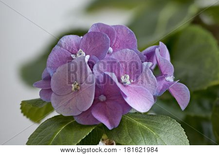 the violet  flowers hydrangea springtime macro springtime