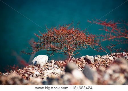 Small Red Tree Growing At Lake Mead Recreation Area, Usa