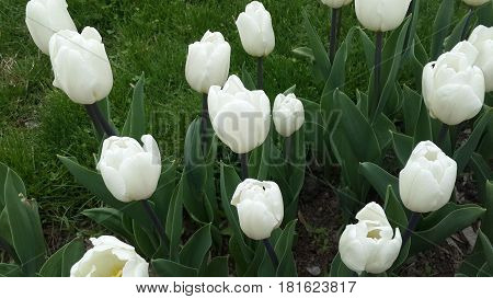Beautiful white tulips growing in the city