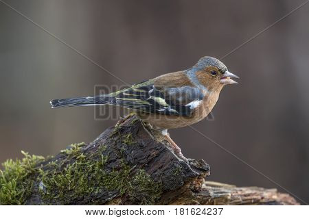 Chaffinch, Male, Perched On A Tree Trunk In A Forest, Tweeting