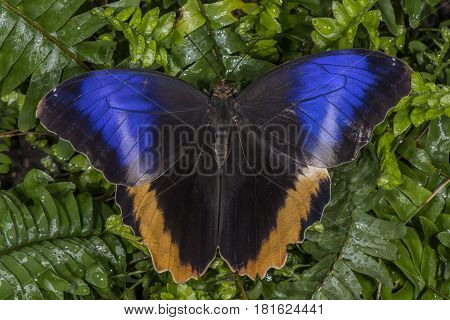 Yellow-edged Giant Owl Butterfly On A Plant, Close Up