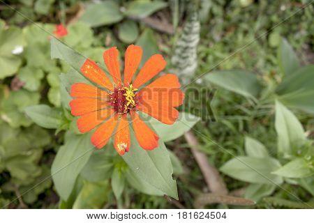 Flor roja que empieza a deteriorarse sin dejar de mostrar su belleza.