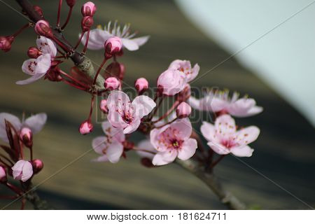 PRUNUS CERASIFERA/ `PISSARDII NIGRA`/cherry plum/myrobalan plum/ This is branch of  ornamental cherry plum is popular in demand for its deep burgundy leaves, almost no maintenance at all and no special soil requirements.