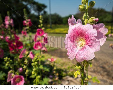 Pink hollyhocks or Alcea rosea flower in natural park