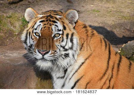 Close Up Portrait Of Siberian Amur Tiger