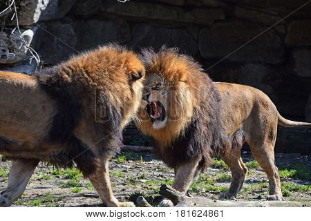 Two Male African Lions Fight And Roar In Zoo
