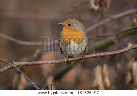 Robin redbreast perched on a twig, close up