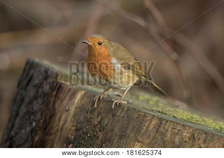 Robin redbreast perched on a tree stump
