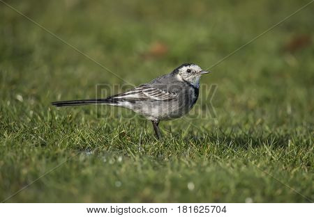 Pied Wagtail On The Grass, Close Up