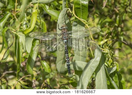 Migrant Hawker Dragonfly Resting On A Leaf