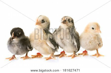 serama chick in front of white background