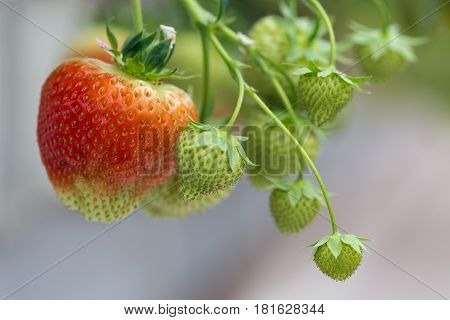Cultivation of red strawberries in a Dutch greenhouse