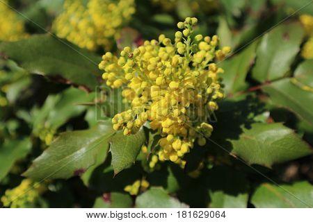Mahonia aquifolium green leaves and yellow flowers.