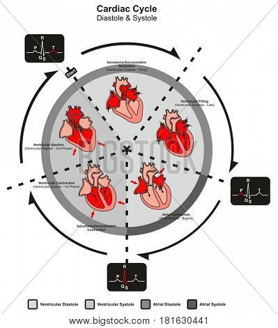 Cardiac Cycle Diastole and Systole of Human Heart Anatomy infographic diagram with all stages of pumping filling in right left atrium and ventricle for medicine science education medical healthcare