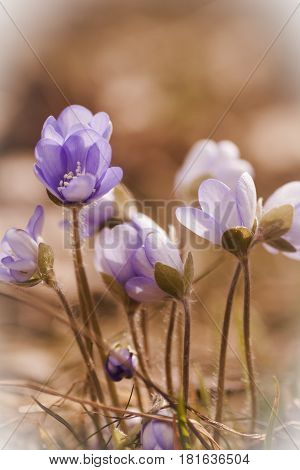 blue anemones blossoming in early spring time