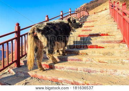 Yak walk up on stairway at Larung gar (Buddhist Academy) in sunshine day and background is blue sky Sichuan China