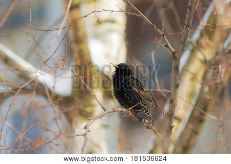 Portrait of a starling on a tree branch