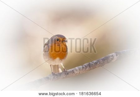 a sweet little robin redbreast on a twig