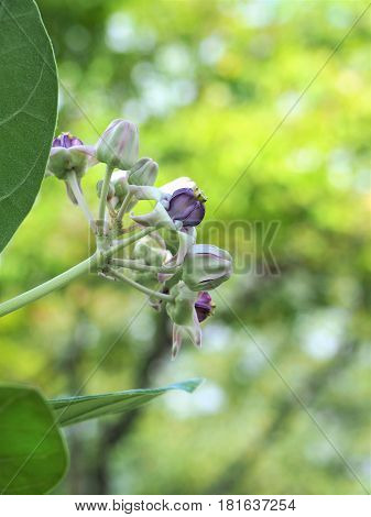 Crown Flower, Calotropis Gigantea, Giant Indian Milkweed, Gigantic Swallowwort Blossom On Tree