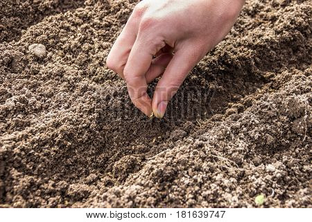 planting seeds (vegetable carrots). Girl's hand to sow the seeds