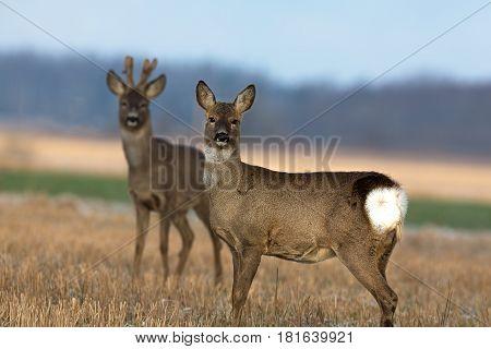 Roe deer couple on the field (Estonia)