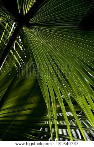 The lines of palm fronds in Florida contrast and form a beautiful green abstract